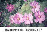 purple  pink  red  cosmos...   Shutterstock . vector #564587647