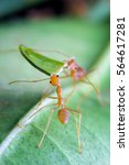Small photo of Leaf-cutter ant, Acromyrmex octospinosus, carrying leaf piece on tree log