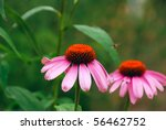two bright flowers of echinacea | Shutterstock . vector #56462752