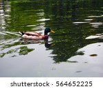 a duck swimming in the river | Shutterstock . vector #564652225