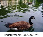 a duck swimming in the river | Shutterstock . vector #564652291