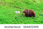 bear on the grass | Shutterstock . vector #564652405
