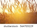 Dry Grass Flower Against The...