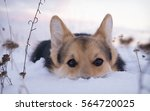 welsh corgi on a walk in the... | Shutterstock . vector #564720025