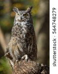 Close Up Great Horned Owl In...