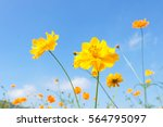 Yellow Cosmos Flowers Against...