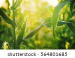 corn field in sunset | Shutterstock . vector #564801685