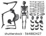 human bones skeleton silhouette ... | Shutterstock .eps vector #564882427