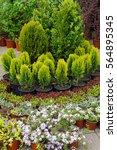 small conifer tree in nursery | Shutterstock . vector #564895345