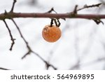 Rotten Apple Hanging On ...
