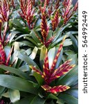Small photo of Bromeliad,Aechmea fasciata,yellow red color
