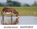 Fertile Donkey Drinking Water...