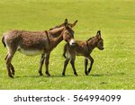Mother And Newborn Baby Donkey...