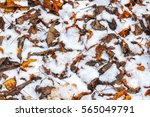 dry fallen leaves covered in... | Shutterstock . vector #565049791