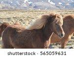 shaggy blonde icelandic horse... | Shutterstock . vector #565059631