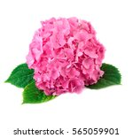 Hortensia Flower Close Up Pink...