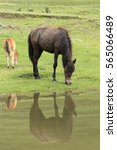 A Black Horse Drinking Water O...