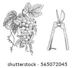grapes and scissors for wine  ... | Shutterstock .eps vector #565072045