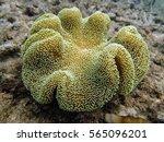 Toadstool Mushroom Coral That...