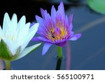 Violet And White Lotus Flowers...