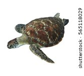 Small photo of Sea Turtle isolated white background
