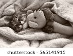 Stock photo gray kitten sleeping on gray plaid wool blanket with tassels embracing soft knitted toy 565141915