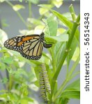 Monarch Butterfly Is Laying...