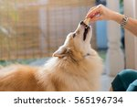 playful dog eating from female... | Shutterstock . vector #565196734