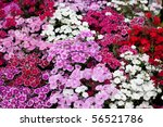 Flowerbed Of Dianthus Barbatus...