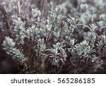 Small photo of Wormwood or absinth or sagebrush (Artemisia). Close up.