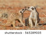 Meerkats Couple Playing On The...