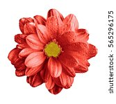 Small photo of Surreal dark chrome red gerbera flower macro isolated on white