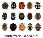 Ladybugs  Ladybird Beetles ...