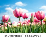 Group Of Pink Tulips In The...