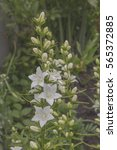 in the garden in bloom white... | Shutterstock . vector #565372885