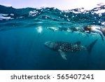 whale shark  rhincodon typus ... | Shutterstock . vector #565407241