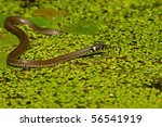 Grass Snake  Natrix Natrix  On...