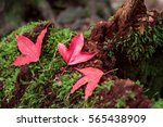 autumn red maple leaves on... | Shutterstock . vector #565438909