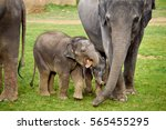 Asian Elephants With Calves In...