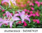 pink lily flower flower | Shutterstock . vector #565487419