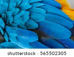 Blue Feathers. Of Parrot Maca...
