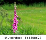 Single Fox Glove Flower With...