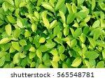 green leaves background | Shutterstock . vector #565548781