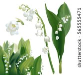 Convallaria Majalis   Lilly Of...