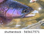 Snake River Rainbow Trout
