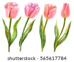 watercolor tulips set  hand... | Shutterstock . vector #565617784