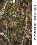 Small photo of Closeup of the mid section of a tree in the woods beginning to be covered with a coat of green moss and other plant life