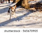 Beagle Dog Running In The Snow...