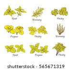herbs and spices set. engraving ... | Shutterstock .eps vector #565671319