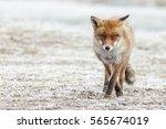 Red Fox In A Winter Landscape